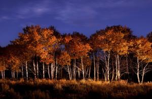 Aspen Grove near Wilson, Wy photo(c)Dave Black    phone: 719-636-3510